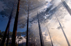 Tall Trees Filtered Sunlight Royalty Free Stock Photos