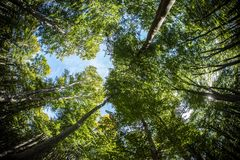 Tall trees. Fish eye perspective in the forest Stock Images