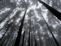 Tall Trees in the Fog Royalty Free Stock Photography