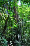Tall trees in the forest. Big and tall trees surrounded by few smaller trees in Bukit Timah nature reserve (Singapore Royalty Free Stock Photos