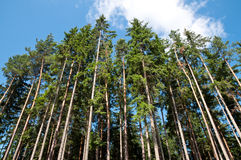Tall Trees in the Forest. Against the blue sky with clouds Stock Photography