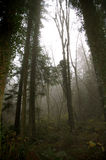 Tall trees in forest. Foggy day Royalty Free Stock Photo