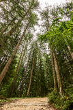 Tall trees. In a forest Stock Image