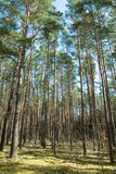 Tall trees. In the forest Royalty Free Stock Photos