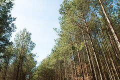 Tall trees. In the forest Stock Photos