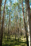 Tall trees. In the forest Stock Images