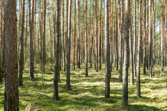 Tall trees. In the forest Stock Photography
