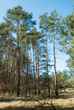 Tall trees. In the forest Stock Image