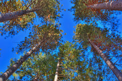 Tall Trees in the Forest Stock Photo