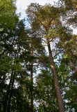 Tall trees in forest Stock Photo