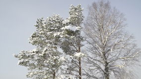 Tall trees from the forest covered with white snow. The winter season in Estonia where snow falls and gives cold weather stock footage