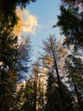 Tall trees in the forest. Nature spring season summer sky Stock Photo