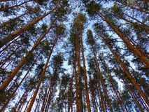 Tall trees in the forest. Nature spring season summer sky Stock Photography