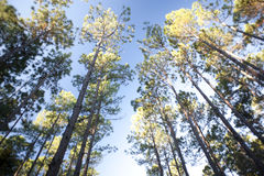 Tall trees in a forest plantation under a blue sky Stock Photography