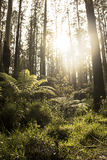 Tall trees in the forest. Tall trees rising in the forest with lush undergrowth and the sun shining through the background Stock Photo
