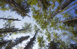 Tall trees in a forest Royalty Free Stock Photography