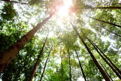 Tall trees in the forest with sun light. Tall trees in the forest with bright sun light Stock Image