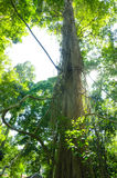 Tall trees in green forest Royalty Free Stock Photography