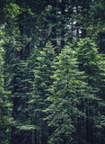 Tall Trees With Green Leaves Stock Photography