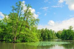 Tall trees and green pond Royalty Free Stock Image