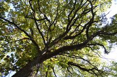 Tall trees Stock Image