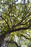 Tall trees Stock Photos