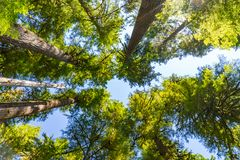 Tall trees in a hemlock forest royalty free stock image