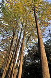 Tall trees in the late fall Stock Image