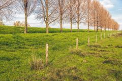 Tall trees in a long line along a dike. Tall leafless trees and a fence in a long line along a Dutch dike. The photo was taken in the spring season near the stock photography
