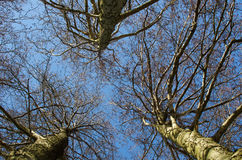 Tall trees from low angle Stock Image