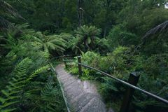 Path leading through the fog of lush rainforest. Tall trees and lush ferns in a foggy rainforest with path leading through the vegtation Stock Images