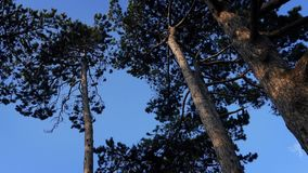 Tall Trees Move Around In Strong Wind. Whole trees swaying in the wind in the evening stock video footage