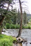 Tall trees near a mountain stream Stock Photos