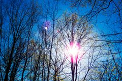 Tall trees with no leaves during a cold day. Tall trees with no leaves during a cold and sunny day of spring in the Province of Quebec, Canada royalty free stock images