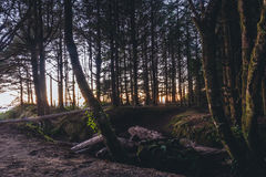 Tall Trees over Sunset View Royalty Free Stock Image
