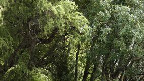 Tall trees on an overcast afternoon being blown around by a breeze. Tall trees on an overcast afternoon being blown around by a light breeze stock footage