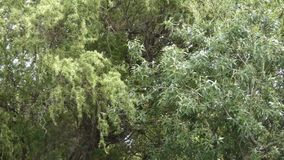 Tall trees on an overcast afternoon being blown around by a breeze. Tall trees on an overcast afternoon being blown around by a light breeze stock video