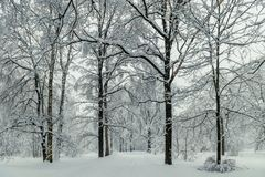 Tall trees in the park during the winter day. Landscape in the forest stock photo