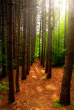 Tall Trees and Path Through Forest. A path, bordered by tall trees runs through a lush, green forest with bright sun-rays shining through trees Stock Photos
