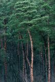 Tall trees in pine forest. Stock Images