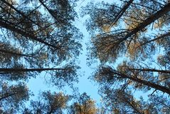 The pine forest against the blue sky stock image