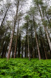 Tall trees rising out of the bracken, reaching towards a clear sky Stock Photography