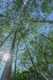 Tall trees rising skyward converging skyward. With green leaves beyond tall tree-trunks vertical composition Royalty Free Stock Photos