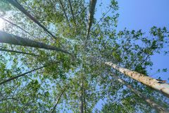 Tall trees rising skyward converging skyward. With green leaves beyond tall tree-trunks Stock Images