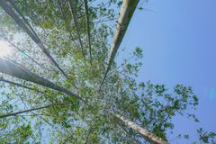 Tall trees rising skyward converging skyward. With green leaves beyond tall tree-trunks Stock Image