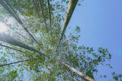 Tall trees rising skyward converging skyward. With green leaves beyond tall tree-trunks Stock Photography