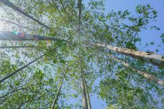 Tall trees rising skyward converging skyward. With green leaves beyond tall tree-trunks Stock Photo