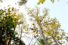 The tall trees and sky in a temple in Thailand. Look at the top of the big tree See far to the sky Traveling in a forest temple in Thailand one time you should Royalty Free Stock Photography