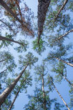 Tall Trees. Skyward view of towering pine trees in a forest beneath a blue sky Stock Image