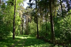 Tall trees, slender pines will help you to plunge into the abyss of simple life it`s nice to look at the pines, their slender. Tall trees, slender pines will stock photos